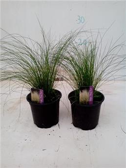 STIPA tenuifolia D10.5 x15 Pony Tails