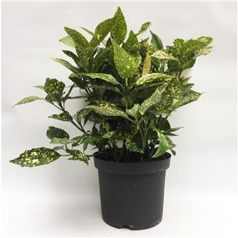 v g tal grossiste en plantes sur le min de rungis grossiste plantes rungis v g tal rungis. Black Bedroom Furniture Sets. Home Design Ideas