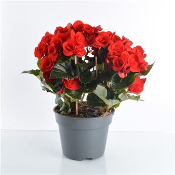 BEGONIA elatior D17 x3 Begonia d appart.