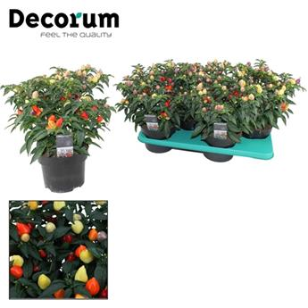 CAPSICUM annuum D17 P Autumn Daylight