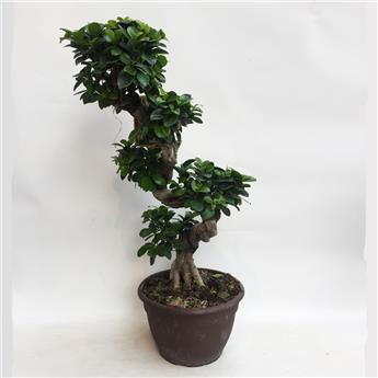 FICUS microcarpa D25 Ginseng FORME S