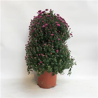 CHRYSANTHEMUM ind MULTI D21 PYRAMIDE 90-100 Chrysantheme