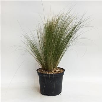 STIPA tenuifolia C02