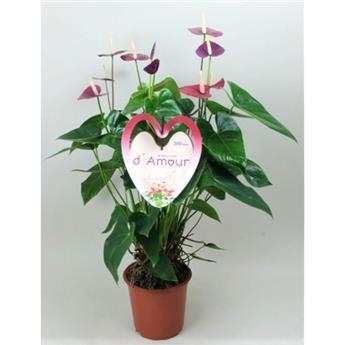 ANTHURIUM andreanum D21 P Violet heart 75Cm