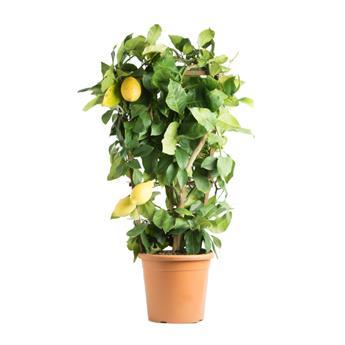 CITRUS limonia D24 90CM ESPALIER Lemon