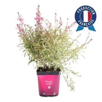 GAURA lindheimeri C02 x8 Siskyou Pink