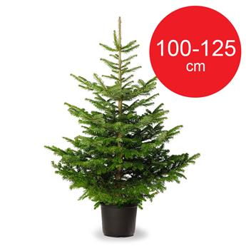 PICEA abies EPICEA CULTURE POT 100-125 D30-40