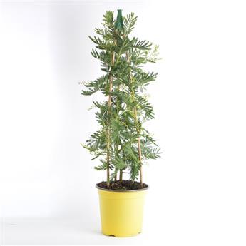 ACACIA dealbata D19 PYRAMIDE 75-80CM Mimosa