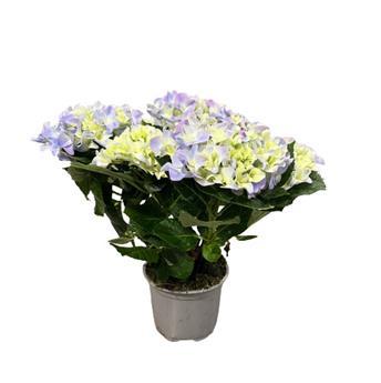 HYDRANGEA macrophylla D13-14 X4 Early Blue