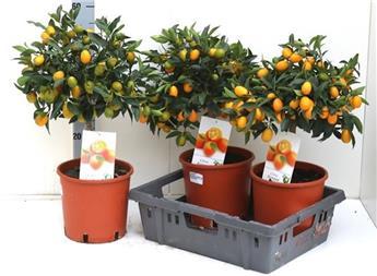 FORTUNELLA margarita D21 Kumquat