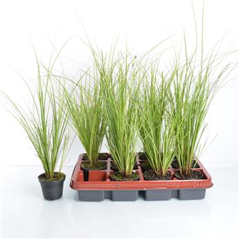 CAREX brunea D09 x12 Mix