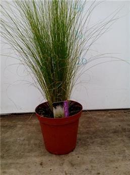 STIPA tenuifolia D13 x10 Pony Tails 40-50cm