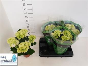 HYDRANGEA macrophylla D13 x4 Schneeball Hortensia