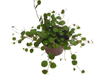 PEPEROMIA pepperspot D09 x12