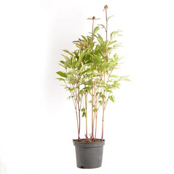 PAEONIA lactiflora D19 MIX Pivoine Herbacee