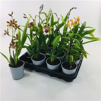 ORCHIDEE hybride D09 X12 MIX