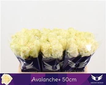 PC ROSA HYBRIDE 50CM P x50 Avalanche Arend