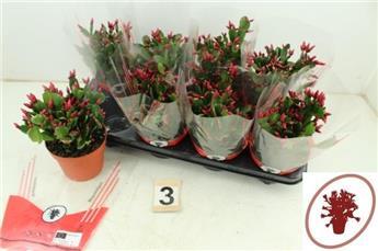RHIPSALIDOPSIS hybride D13 x8 Cactus