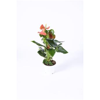 ANTHURIUM andreanum D09 ORANGE X12 Champion Fleur damour