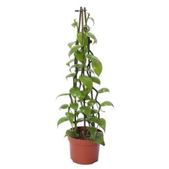 VANILLA  planifolia D12 P x6 Vanille