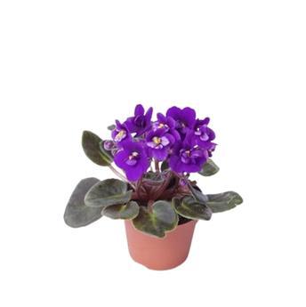 MINI SAINTPAULIA ionantha D06 x12 fleurs simples