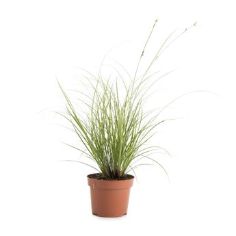 CAREX brunnea D12 P X10 Jubilo port erige feuille
