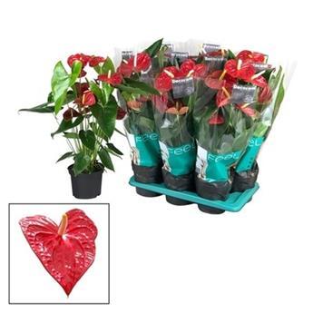 ANTHURIUM andreanum D17 RGE  P Dakota Fleur d amour 70CM