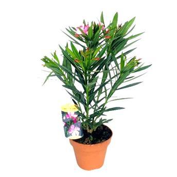NERIUM oleander D14 x6 DOUBLE Laurier rose