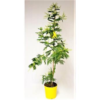 ACACIA dealbata D19 CANNE 120CM Mimosa