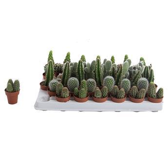 MINI PLANTE CACTEE D03.5 x46 micro
