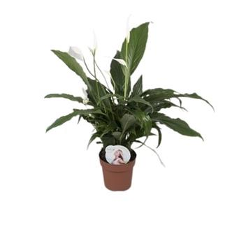 SPATHIPHYLLUM wallisii D13  P x8 Sweet Chico