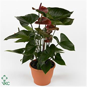 ANTHURIUM andreanum D17      P Beauty Chocolate Langue de feu