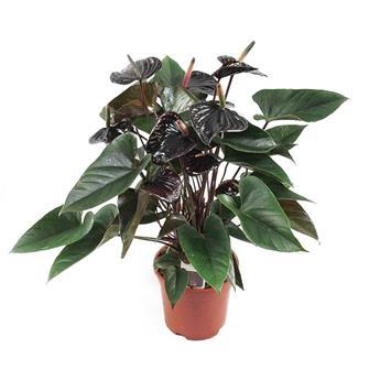 ANTHURIUM andreanum D17 P Beauty Black NOIR 55Cm