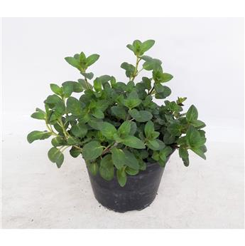 MENTHA rotundifolia D14 x8 Menthe a feuilles rondes