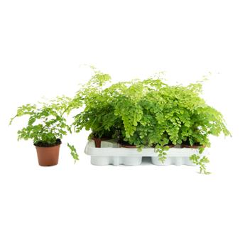 ADIANTUM cuneatum D09 Fragans x12 Capillaire simple