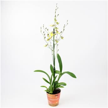 ONCIDIUM hybride D12 1BR P X10 Inca Honey Bee