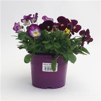 VIOLA cornuta D13 X10 Violettes multicolore