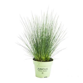 JUNCUS effusus D12 P x10 Pencil Grass