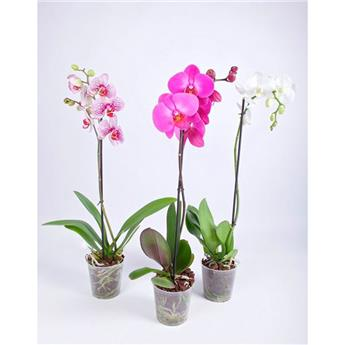 PHALAENOPSIS hybride D12 1BR P x10 Orchidee MIX