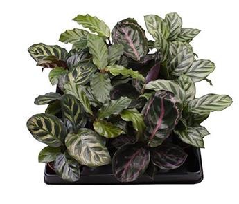 MINI CALATHEA mix D06 X12